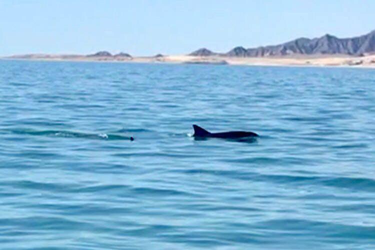 Imagen del avistamiento de dos ejemplares de vaquita marina en el Golfo de California. FOTO: Porpoise Conservation Society