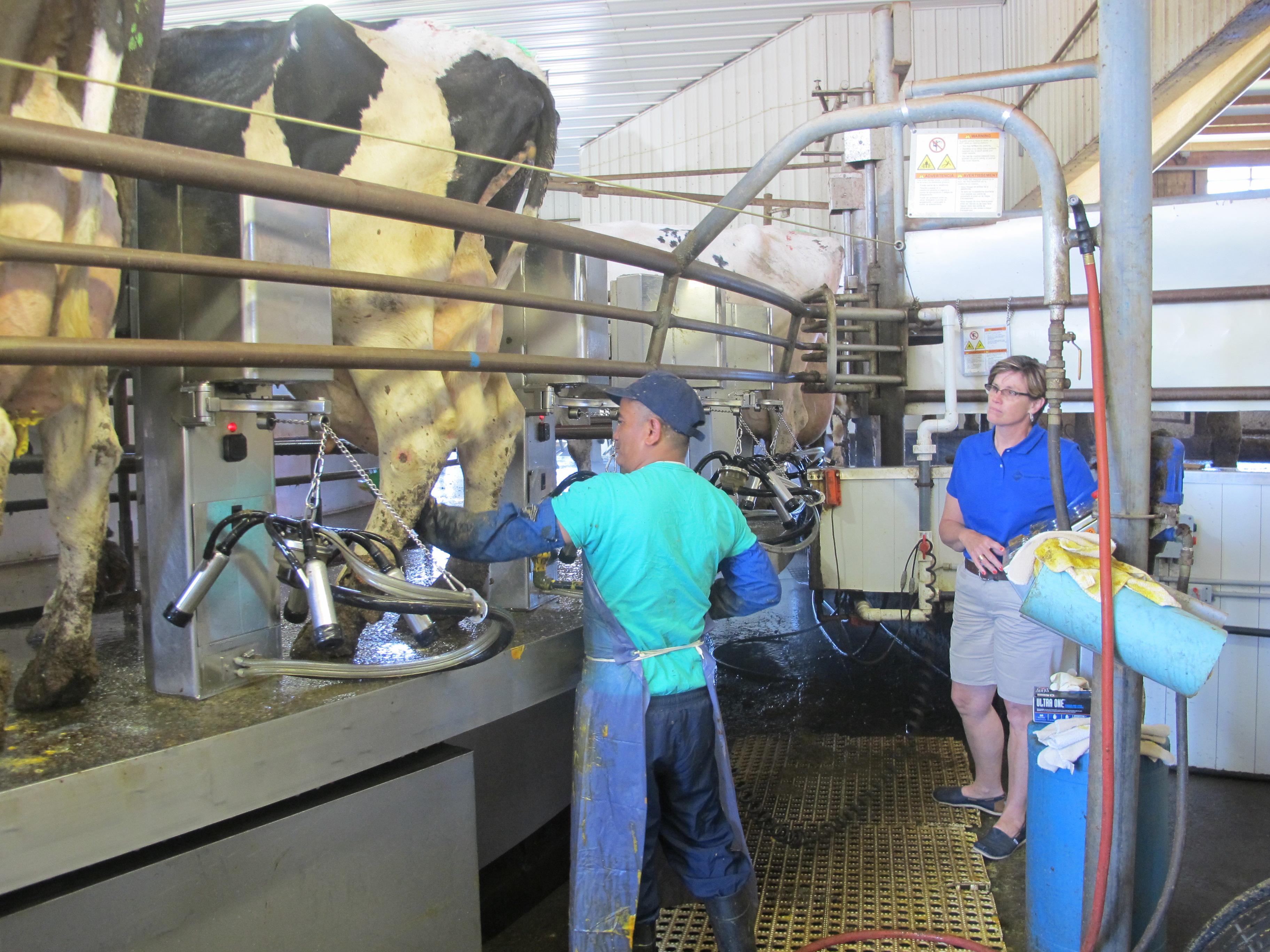 Trabajador de la industria de la leche en Nueva York. (AP Photo/Carolyn Thompson)