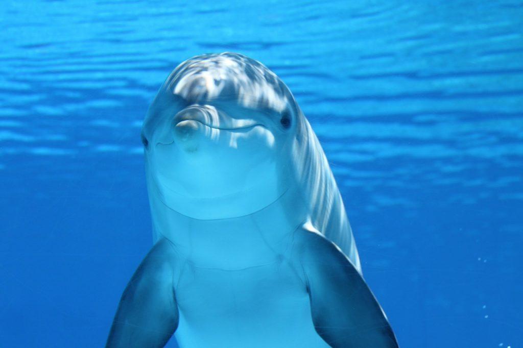 Delfines entrenados apoyarán rescate de vaquita marina