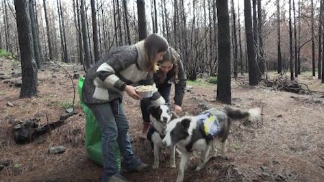 Perros sembradores ayudan a reforestar bosques quemados