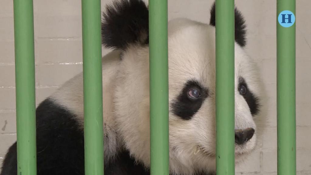 Son las pandas más longevas del mundo y viven en México