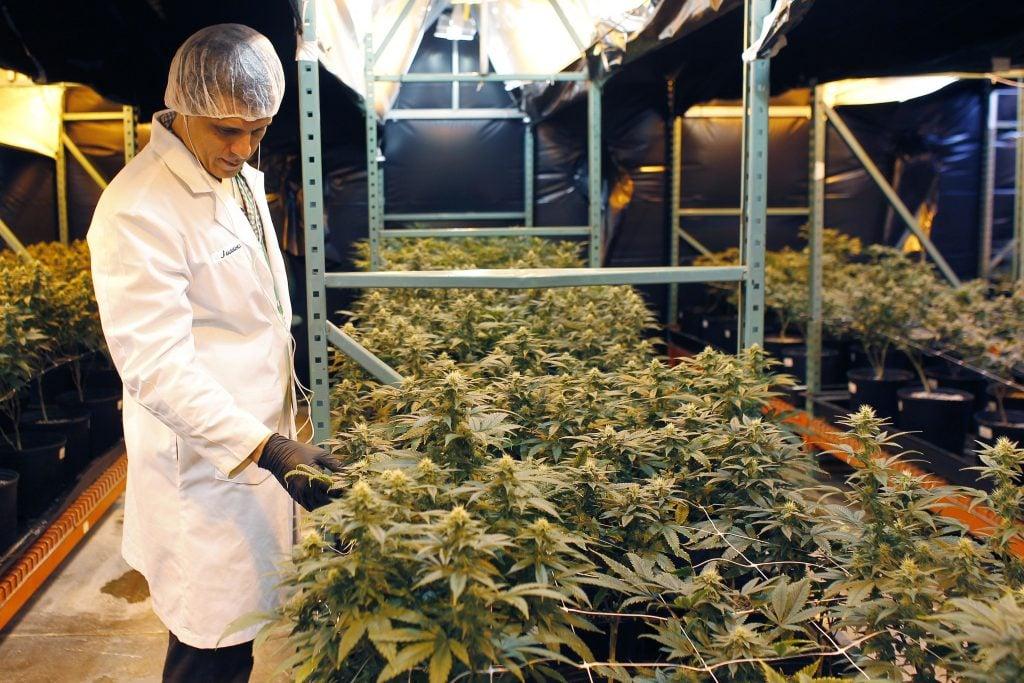 Juan Manuel Rodriguez, productor de marihuana. @AP