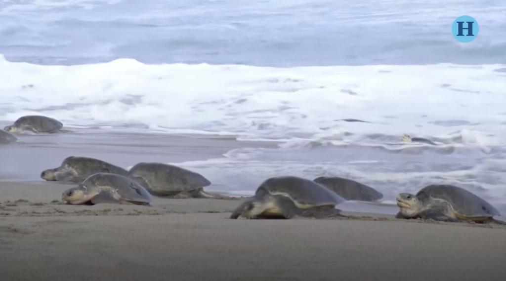 Miles de tortugas llegan a playas de Oaxaca a desovar