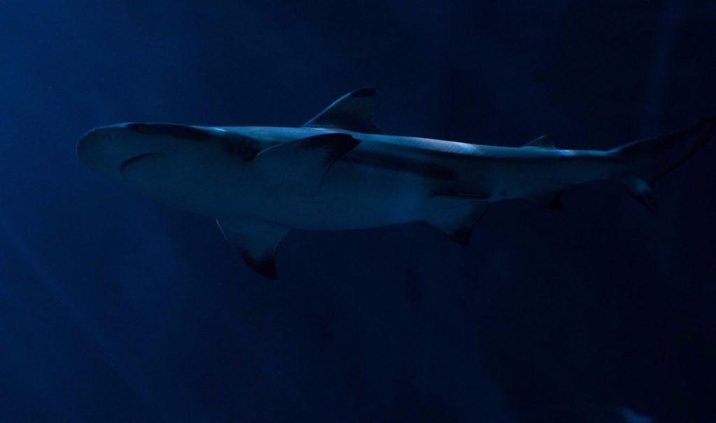 México, lugar de tiburones, tiene 111 especies
