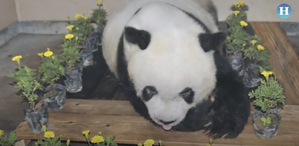 Murió Basi, el panda más viejo del mundo