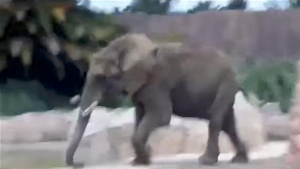 La elefanta Ely, habitante del Zoológico de San Juan de Aragón en la CDMX, vivió momentos de angustia durante el sismo del pasado 19-S.