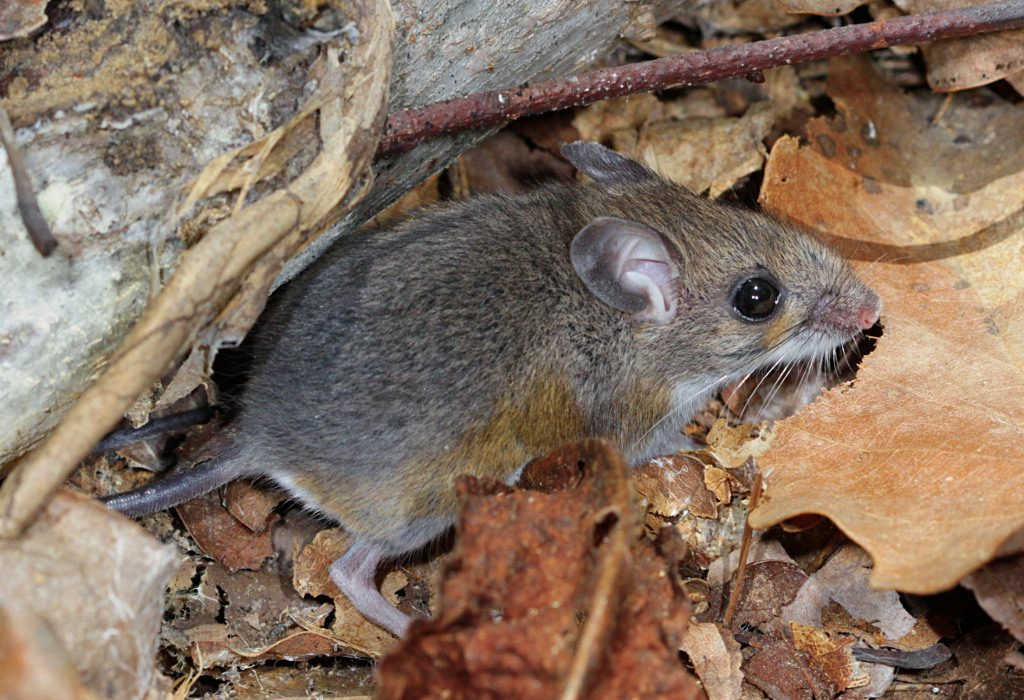 A raíz del cambio climático, los ratones están mutando