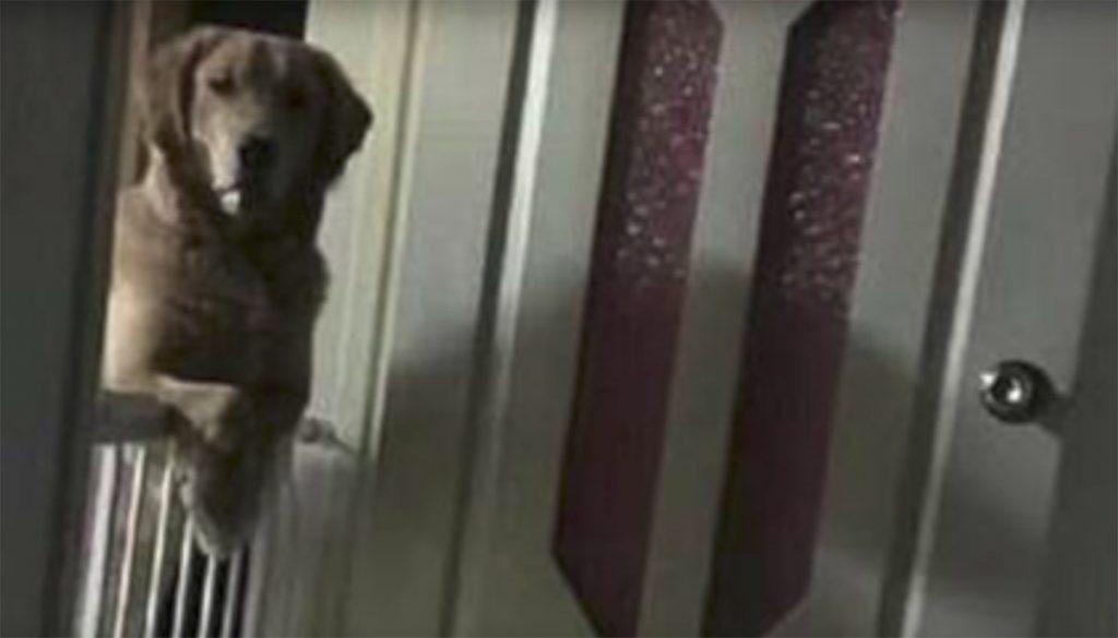 Una familia que adoptó a Murdoc, un Golden Retriever, descubrió que el perro no dormía y permanecía por la noches en la misma posición, la causa te romperá el corazón
