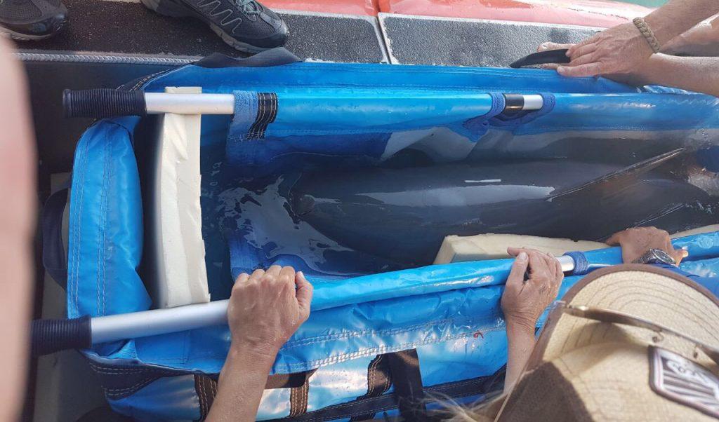 Un ejemplar de la vaquita marina fue capturada en el Golfo de California como parte de un programa para su reproducción en cautiverio .