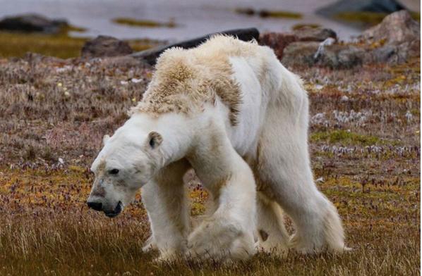 VIDEO: Documentan agonía de oso polar a causa del calentamiento global