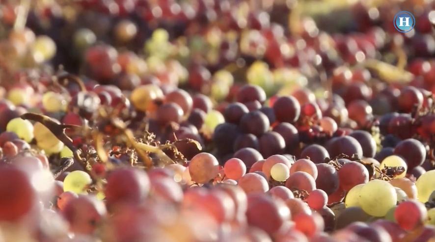 Hacen vino como hace 300 años