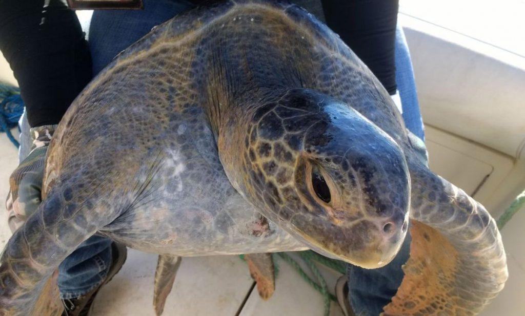 La Procuraduría Federal de Protección al Ambiente (Profepa) informó sobre el rescate de la tortuga prieta del Pacifico atrapada en la red de pesca