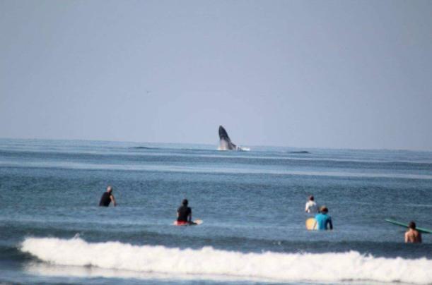 Ballenas sorprenden a surfistas y turistas de Ixtapa-Zihuatanejo