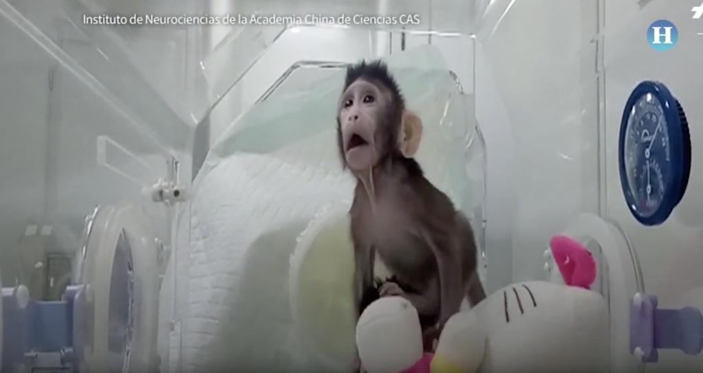 Nacen en China los dos primeros monos clonados