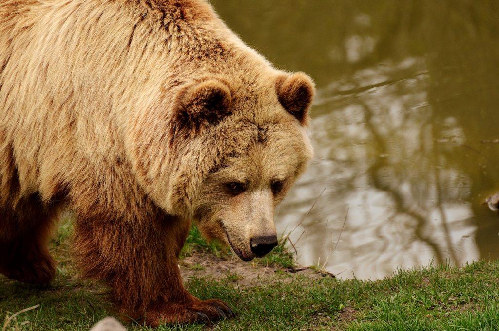 Niño es mordido por oso que tenía como mascota