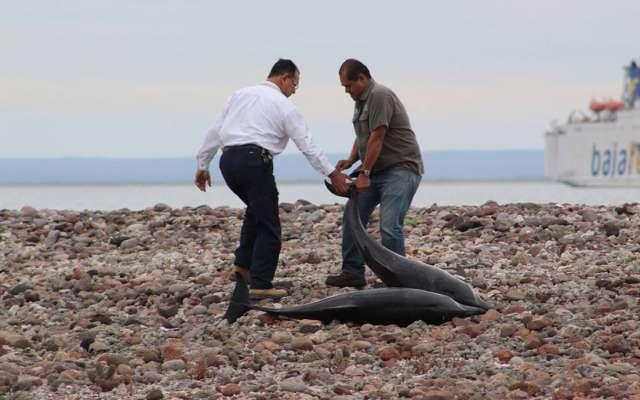 Al menos 20 delfines murieron y otros 34 fueron devueltos al mar tras quedarse varados en la playa Salinita, en la isla San José Nepomuceno, de Baja California Sur