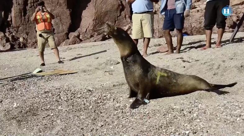 Lanzan campaña para rescatar lobos marinos