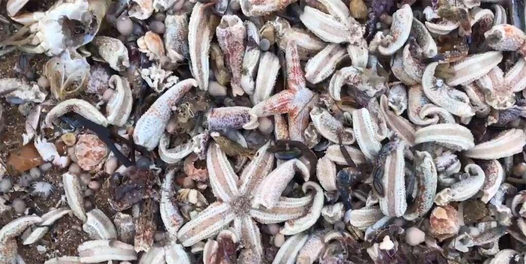 Miles de estrellas de mar aparecen muertas en playa de Reino Unido