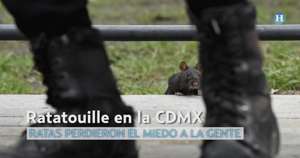 Ratas pierden miedo a la gente