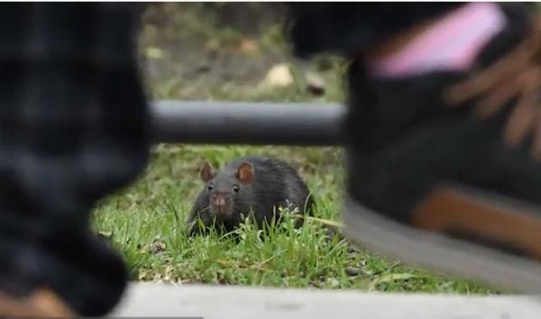 Biólogos expresaron que el comportamiento de los roedores se ha modificado: de ser nocturnos y cautos, ahora salen a buscar comida a plena luz del día