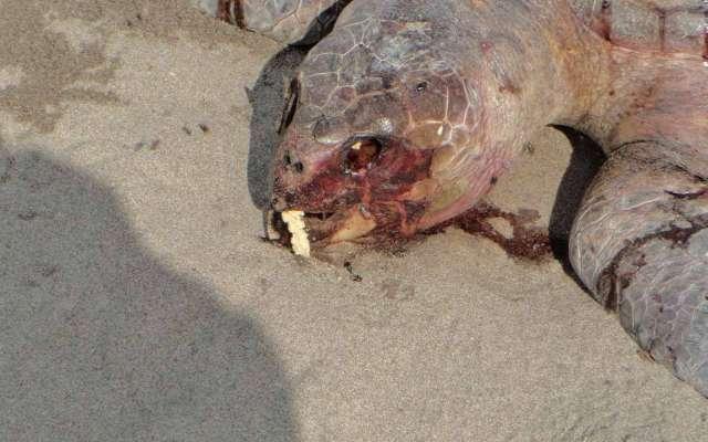 Descubren muertas a tortugas de especies como golfina, carey y prieta. FOTO: ESPECIAL