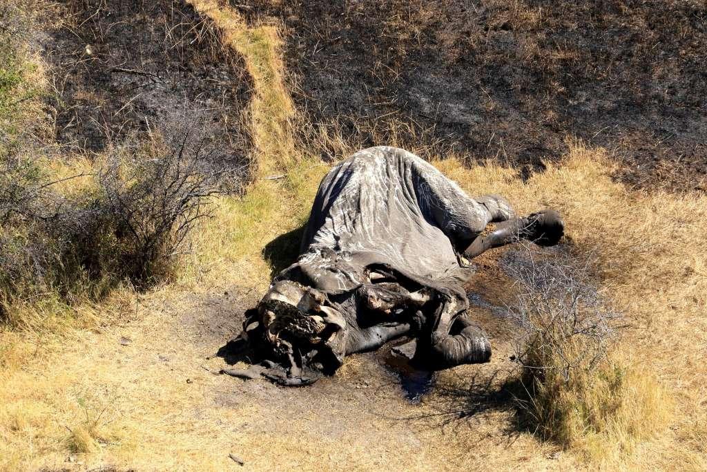 Fotografía facilitada por Elefantes Sin Fronteras de uno de los 90 elefantes que han sido encontrados sin vida en los últimos tres meses en Botsuana. Foto: EFE