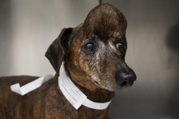 La perrita Patches tiene nueve años y un nuevo cráneo. FOTO: NOTIMEX