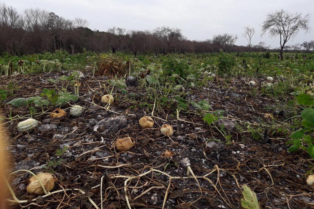 cultivos afectados en Dzonot - Delincuente Ecológico: abejas amenazadas 261018 - El Apicultor Español: Actitud y Aptitud Apícola