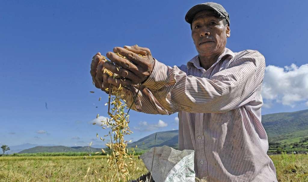Morelos genera para el mercado nacional 10 mil toneladas de arroz.