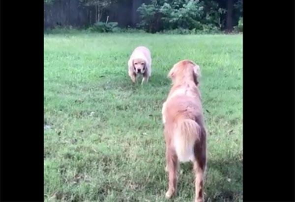 Una usuaria de Twitter publicó un video donde muestra la forma peculiar de jugar de sus perros. FOTO: ESPECIAL