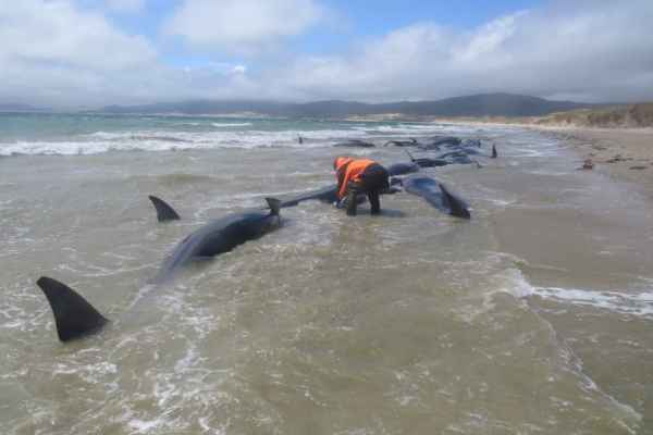 Este sábado un senderiasta descubrió 145 ballenas varadas en Nueva Zelanda. Foto:@LiveScience