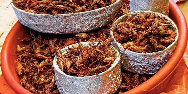 El chapulín de milpa puede tener el doble de proteína que un kilo de carne convencional (res, cerdo y pollo) y su valor proteico es similar al atún u otro pescado. Foto: Especial