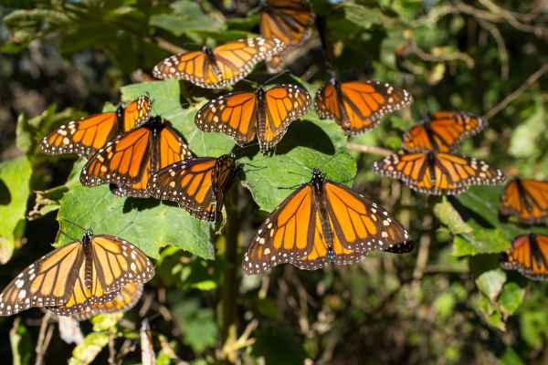 El nombre náhuatl para designar a la mariposa era