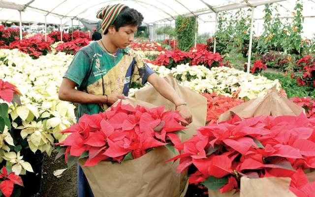 Los productores de los diferentes viveros, en el pueblo mágico de Atlixco, utilizan aproximadamente 40 hectáreas para sembrar la Flor de nochebuena. NOTIMEX.