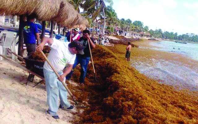 En los puntos en los que hay mayor presencia del alga, se ha redoblado la limpieza. FOTO: ESPECIAL