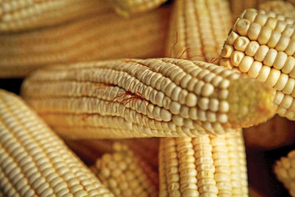 Agrobio sostiene que hay estudios que avalan a los OGM. FOTO: RASHIDE FRIAS /CUARTOSCURO.COM
