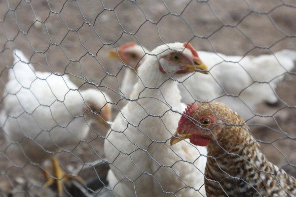 De igual manera, el organismo de la SADER reforzó las labores de vigilancia epidemiológica en las aves del país con el objetivo de detectar de manera oportuna cualquier caso sospechoso