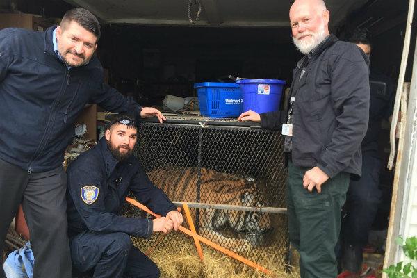 El tigre fue llevado a un refugio de animales y posteriormente trasladado a un santuario