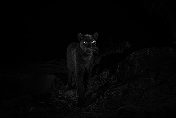 Las fotografías fueron publicados en la revista African Journal of Ecology en donde también el fotógrafo contó su historia.FOTO: @willbl