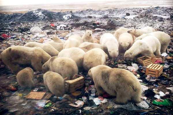 Los expertos consideran que el éxodo de los osos polares se debe al calentamiento global.Foto: @siberian_times