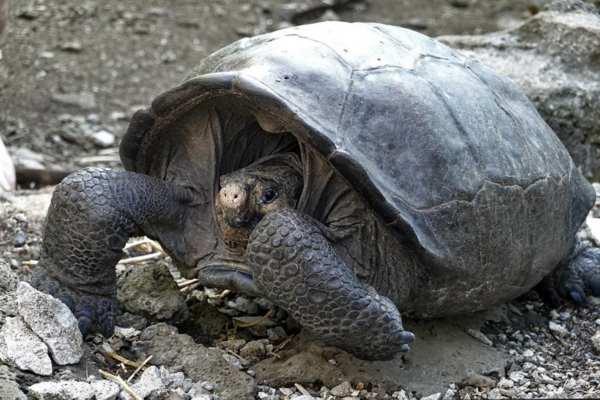 La última vez que se vio una tortuga de su especie fue en 1906. Foto: AFP