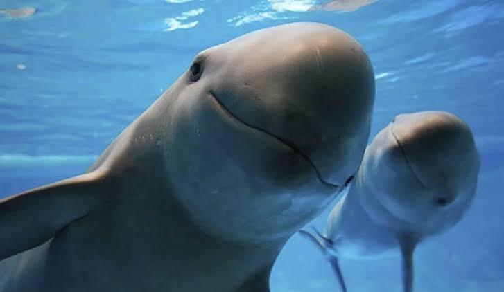 La población actual de la vaquita marina oscila entre 6 y 22 individuos. Foto: Especial