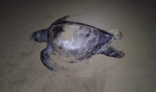 Varamiento de tortugas prietas