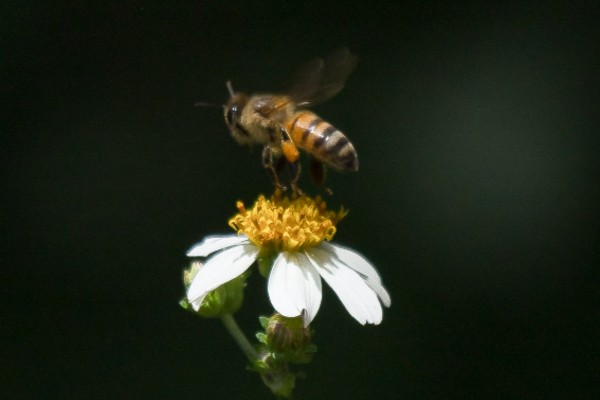 La polinización que realizan las abejas es fundamental para la fauna y flora. Foto: Cuarto Oscuro