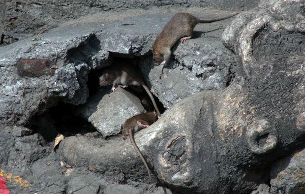 El aumento de temperatura provoca que los ratones se reproduzcan fácilmente. Foto: Cuartoscuro