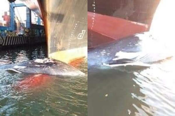 Trabajadores encontraron el cuerpo del animal y dieron aviso a la tripulación; ya fue liberado. Foto: Especial