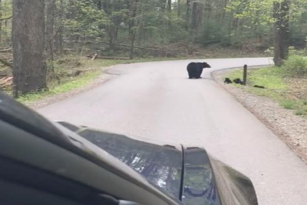 El video muestra como una mamá osa ayuda a sus pequeños oseznos a cruzar la carretera . Foto de Rebecca Connell