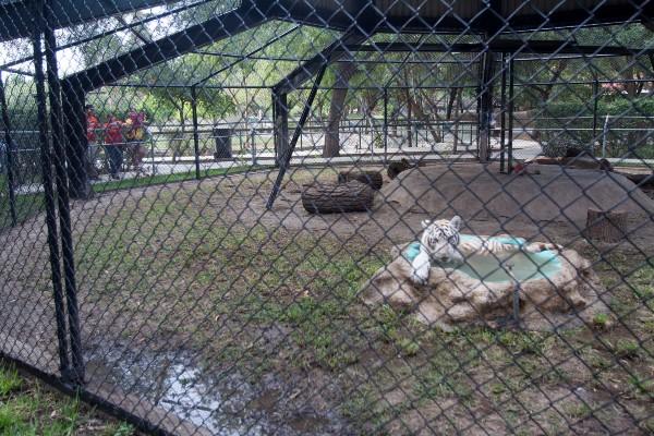El tigre de Bengala, originario de la India y Bangladesh, es una especie en peligro de extinción protegida por la CITES. Foto: Cuarto Oscuro