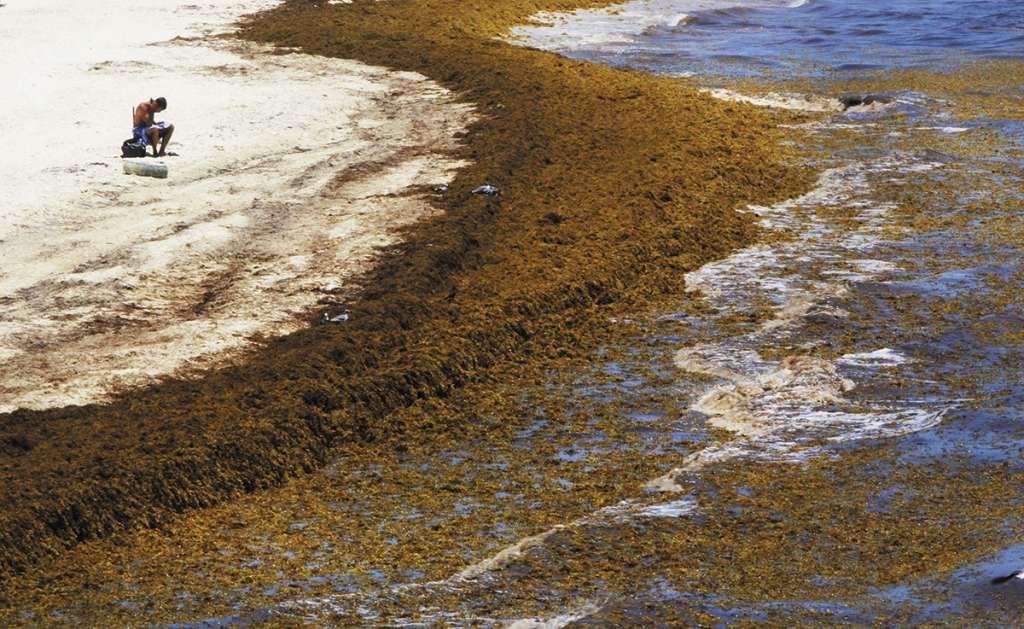 El gobierno federal dispondrá de la Marina para combatir la llegada masiva de la plaga.FOTO: ESPECIAL