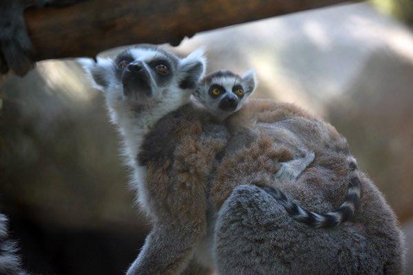 Nacen dos lémures de cola anillada en CDMX
